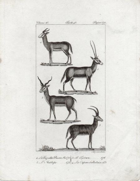 Capra saltatrice antilope storia naturale Buffon